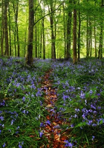 garvagh_forest_bluebells_v_by_younghappy-d2znvfn
