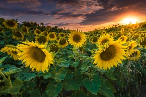 sunflowers_sun_by_stg123-d9endhn